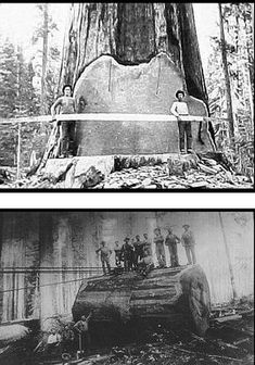 Long Before the Chain Saw.A Little Bit of History! Giant Sequoia Trees, Giant Tree, Big Tree, Antique Pictures, Old Pictures, Old Photos, Tree Logs, Old Trees, Forest Pictures