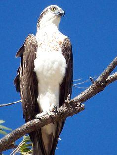 nunavut provincial bird