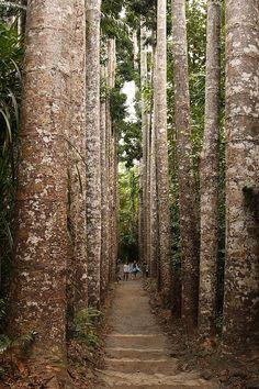 Kauri Pine Avenue, Paronella Park, (120 km south of Cairns), Queensland, Australia