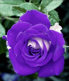 Beautiful Rose Flowers, Pretty Roses, Beautiful Flowers, Most Beautiful, Blue Roses Wallpaper, Hybrid Tea Roses, Single Rose, Purple Roses, Exotic