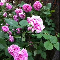 old rose'Louise Odier'