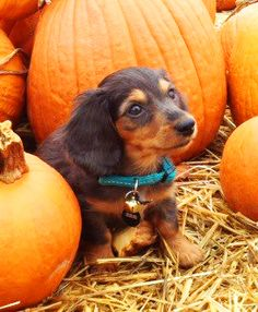 Doxie in the Pumpkins