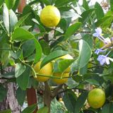 how to get lime trees to bear fruit