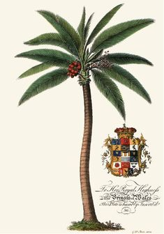 """Palm Pl.-Male Palm Tree Engraved by G.E. after a picture by Georg Dionysius Ehret. This is a recently comissioned copper plate etching based on a print originally published in 1750 to illustrate the Rev. Griffith Hughes book """"The Natural History of Barbados"""". Size 12 x 8 inches (30 x 20 cms.) Ref Q201."""