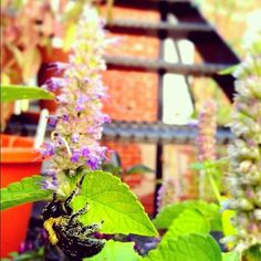 Let a few herbs go to flower - for the bees.