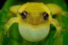 Another confirmed new frog species from Betampona Forest Reserve in the Platypelis genus. Photo by: Gonçalo M. Rosa.