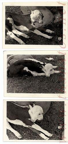 Two headed calf, 1942.