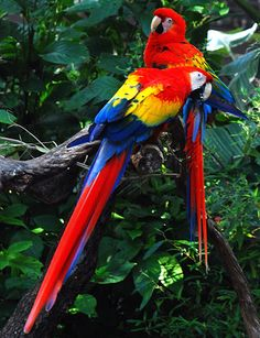 MOST BEAUTIFUL AND COLORFUL BIRDS THAT BEAUTIFY THE NATURE  - Scarlet Macaw  The national symbol of Honduras, this large parrot is perhaps the one bird companion any home in the world would like to have.