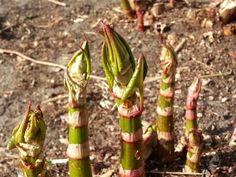 Como plantar bambu. O bambu é uma das plantas com mais usos e versáteis que existem, pois a planta pode servir como matéria-prima para fazer móveis, trabalhos de artesanato, para além de poder ser usado como objeto decor...