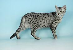 midnight gatto egiziano - Cerca con Google