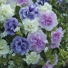 Petunia Tumbelina Series Scented Falls Plants ONLY from Mr Fothergill's Seeds and Plants. 6 young plants, 2 of each variety. Petunia Plant, Petunia Flower, Planting Plan, Fall Plants, Clay Flowers, Flower Boxes, Flower Seeds, Summer Flowers, Container Gardening