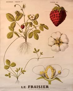 """Résultat de recherche d'images pour """"fleur de fraisier dessin"""""""