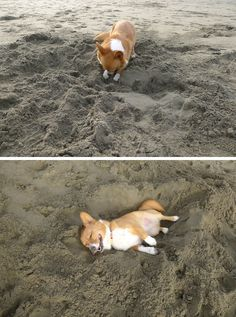 This dog who dug himself his very own nap hole. | 29 Dogs You Won't Believe Actually Exist -lmao these are hilarious. The businesswoman got me.