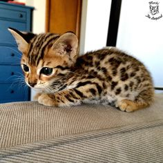insolite bengal chat chaton