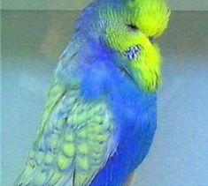 Cockatiel, Budgies, Parrots, Fancy Parakeet, Tiger Lilly, Parrot Bird, Little Birds, Animal House, Birds Of Prey