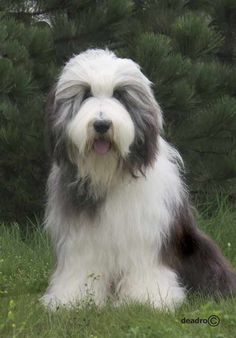 ♥D♥ 101 BEARDED COLLIE