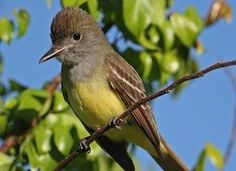 Great Crested Flycatcher Photo (Could this be the flycatcher that nested in our bluebird box in 2014?)