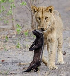 A Lion kills a Honey Badger in the Savuti Channel in the Linyanti Wildlife Reserve
