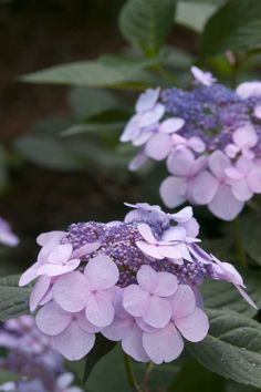 The Twist-n-Shout bigleaf lacecap hydrangea from Endless Summer boasts picturesque deep pink or periwinkle blue hydrangea flowers. Hydrangea Garden, Green Hydrangea, Hydrangea Flower, Blue Flowers, Very Beautiful Flowers, Amazing Flowers, Hedges, Twist And Shout Hydrangea, Gardens