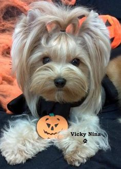 """I was invited to a pumpkin party, what's that?"" #dogs #pets #YorkshireTerriers Facebook.com/sodoggonefunny"