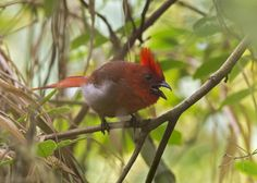 Habia cristata - Crested Ant-Tanager