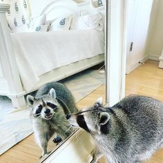 """ Yikes! These dark circles are out of control! Fetch me my eye cream Toffee!"" Congratulations @retent1s you are today's winner! We can't wait for next weeks Monday's Muse! Tag a friend or two to challenge them! #pumpkintheraccoon #raccoon #mondaymuse #weeklyfluff #love #pet #instagram #instalike #instagood #instadaily"
