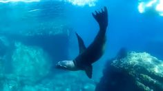 Snorkeling with wild sealion colony- MEXICO- HD underwater video