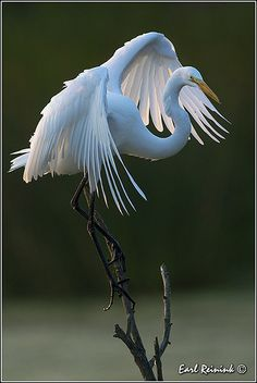 Great Egret (130722-0404) | Flickr - Photo Sharing!