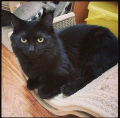 Marie is a fluffy black cat up for adoption! Come visit this cutie today! #catscradle #adopt
