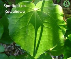 Spotlight on Kawakawa - Kawakawa is an entire plant pharmacy in itself, capable of many different actions that make it useful for a wide array of conditions.