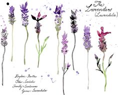 The Lavenders  PLEASE NOTE! ART IS BY THE VERY TALENTED Margaret Berg   See her beautiful website here!  so sorry I did not credit sooner :( did not realize this would get reblogged so quickly.