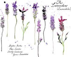 lavender watercolor - Google Search (tattoo?)