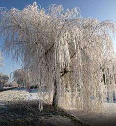 A Weeping Willow with winter ice to make it shine.