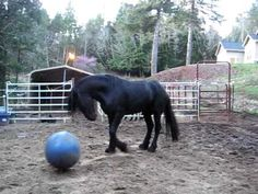 "Video - A Horse Playing with a Small Ball - ""Young Friesian stallion (Sir Lokkias) playing with new ball"""