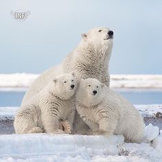 #InstaNatureFriends_   Polar bear (Ursus maritimus) Location: Beaufort Sea Alaska  Featured Shot   Goes to:   @alaskaphotographics     Chosen by:  @jo_sydney    Congratulations on being featured with such a fantastic shot! Please check out this Nature Friends gallery for more amazing pics!  Fancy a Feature? Please be a friend and follow us! Make sure to tag your beautiful nature shots:  #InstaNatureFriends_  for a chance to be featured here!!  Do you know these wonderful galleries? Please…