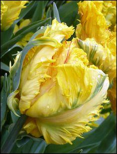 Yellow Tulip Flower ... rambling rosie ✿