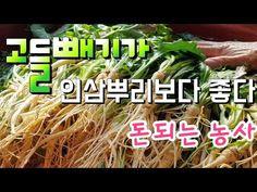 7월에파종한 고들빼기 결과는 ? 고들빼기 뿌리가 인삼보다 좋다, 고들빼기 효능이? - YouTube Herbs, Food, Eten, Herb, Meals, Spice, Diet