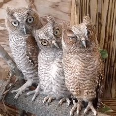 Screech Owls..two Grey morph and one Rufus morph (I think these cuties are in a sanctuary, as they are nocturnal.)