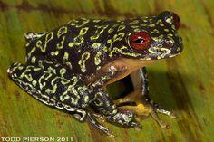 Duellmanohyla soralia aka Brook Frog