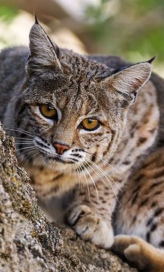 and American Lynx Small Wild Cats, Small Cat, Big Cats, Cool Cats, Small Deer, Nature Animals, Animals And Pets, Cute Animals, Woodland Animals