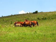 Horses in Trascau Romania, Places To Go, Horses, Animals, Animales, Animaux, Animal, Animais, Horse