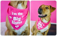 I'm the Big Sister, Pregnancy Announcement Session with Dog - I'm the Big Sister Bandana  http://hound-dog-studios.com/big-sister-dog-session-denver-zoe/   denver Dog photographer, Denver pregnancy Announcement
