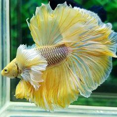 A lemon meringue Betta. Betta Aquarium, Freshwater Aquarium Fish, Jellyfish Aquarium, Betta Fish Tank, Beta Fish, Fish Tanks, Pretty Fish, Beautiful Fish, Beautiful Sea Creatures