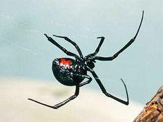 147 Best The Widow Images In 2019 Black Widow Spider