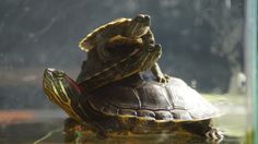 Mis tortugas tomando sol