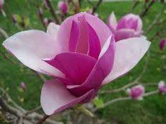 Resultado de imagen para magnolia