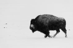 Trotting Buffalo B by friedmud, via Flickr