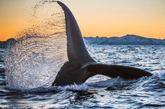 National Geographic Creative: Humpback whales are powerful swimmers. They use their massive tail fin, called a fluke, to propel . Beautiful Places To Visit, Beautiful World, Beautiful Hotels, Where The Sun Rises, Le Grand Bleu, National Geographic Travel, Oceans Of The World, Animal Facts, Ocean Creatures