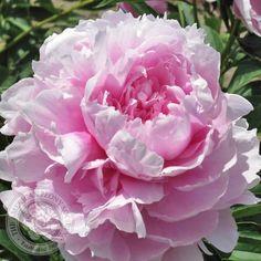 Peony 'Pillow Talk' 1994 Gold Medal Winner, 1995 Peony of the Year. Sun Garden, Garden Art, Garden Plants, Flowers Perennials, Planting Flowers, Pink Flowers, Beautiful Flowers, Peonies Centerpiece, Gold Medal Winners