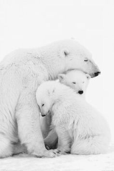 32 Beautiful Photos of Animal Kingdom - AWW - - Awww the polar bear family! The post 32 Beautiful Photos of Animal Kingdom appeared first on Gag Dad. Cute Baby Animals, Animals And Pets, Wild Animals, Funny Animals, Animals Planet, Arctic Animals, Plush Animals, Beautiful Creatures, Animals Beautiful